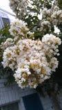 Pacchi di piccola crescita di fiori bianchi su un albero fotografie stock