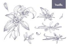 Pacco dei disegni naturali delle piante della vaniglia con i frutti o baccelli, fiori di fioritura e foglie isolati su bianco Immagine Stock