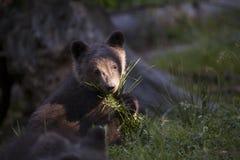 Pacco dell'erba della tenuta dell'orso del bambino Fotografie Stock