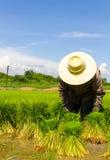 Pacco delle piantine del riso Fotografie Stock Libere da Diritti
