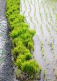 Pacco delle piantine del riso nel campo rurale di agricoltura Immagine Stock