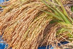 Pacco di riso sul giacimento del riso Fotografia Stock