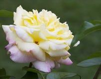 Pace gialla & dentellare Rosa - Rosaceae Fotografia Stock
