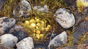pachamanca是在激昂的石头的一个祖先烹调地下过程,厄瓜多尔 免版税库存图片