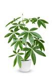 Pachira aquatica doniczkowa roślina odizolowywająca nad bielem Zdjęcie Royalty Free