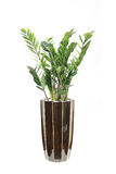 pachira macrocarpa potted Стоковая Фотография RF