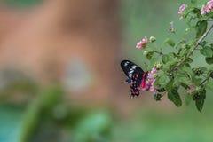 Pachliopta虚张声势的人,绯红色玫瑰色蝴蝶 库存照片