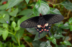 Pachliopta aristolochiae interpositus, also known as common rose butterfly or red-bodied swallowtail Royalty Free Stock Image
