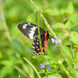 Pachliopta hector butterfly. Red black beautiful butterfly. The animals of the country Sri Lanka stock photography