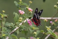 Pachliopta hector, the crimson rose butterfly. On a flower and sipping nector, with proboscis visible royalty free stock photography