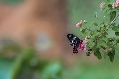 Pachliopta hector, the crimson rose butterfly stock photos