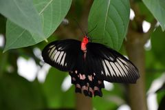 Pachliopta kotzebuea, Big black butterfly in nature. On a green leaf royalty free stock images