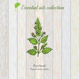Pachulí, etiqueta del aceite esencial, planta aromática Fotos de archivo libres de regalías