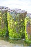 Pachwina w morzu bałtyckim zdjęcia stock