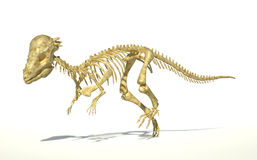 Pachycephalosaurus dinosaur, full photo-realistic skeleton, perspective view. Royalty Free Stock Photography