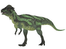 Pachycephalosaurus on White. Pachycephalosaurus dinosaur was a bipedal omnivore with an extremely thick skull roof and existed in the Cretaceous Period Stock Photography