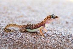 Pachydactylus-rangei, der Namib-Sandgecko oder schwimmfüßiger Gecko lizenzfreie stockfotos