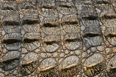 Pachydermstrukturen des Krokodils Lizenzfreie Stockfotografie