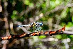 Pachydiplax longipennis (Blue dasher dragon fly) Royalty Free Stock Image