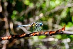 Pachydiplaxlongipennis (de Blauwe vlieg van de dasherdraak) Royalty-vrije Stock Afbeelding