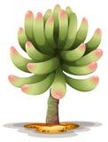 Pachyphytum hookeri Royalty Free Stock Images