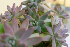 Pachyphytum jest małym genus sukulenty w Crassulaceae rodzinie Sukulent zasadza pachyveria zbliżenia eyedroppers wysoka rozdzielc fotografia royalty free