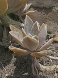 Pachyphytumhookeri Stock Afbeeldingen