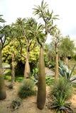 Pachypodium lamerei Royaltyfri Foto