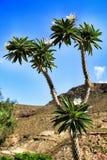 Pachypodium Lamerei kaktusowa roślina pod słońcem obrazy stock