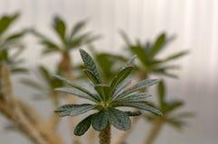 Pachypodium lamerei Madagascar palma, tłustoszowaty cierniowaty kwiat, zieleń opuszcza na gałąź fotografia stock