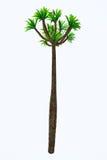 Pachypodium lamerei Tall Tree Royalty Free Stock Photo