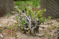 Pachypodium lealii plant Royalty Free Stock Images