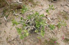 Pachypodium lealii plant Royalty Free Stock Photos