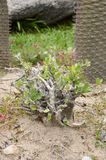 Pachypodium lealii plant Royalty Free Stock Photography