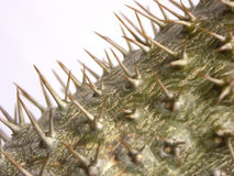 Pachypodium plant. Macro of Pachypodium plant from Madagascar stock photo