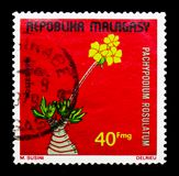 Pachypodium rosulatum,植物serie,大约1975年 免版税库存照片