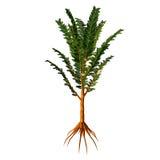 Pachypteris sp Tree Royalty Free Stock Image