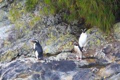 Pachyrhynchus хохлатого пингвина пингвина Fiordland, сомнительный звук, национальный парк Fiordland, южный остров, Новая Зеландия стоковые фотографии rf