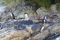 Pachyrhynchus do Eudyptes do pinguim de Fiordland, som duvidoso, parque nacional de Fiordland, ilha sul, Nova Zelândia imagem de stock