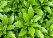 Pachysandra. Growing in the forest Royalty Free Stock Photo