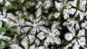 Pachysandra debajo de la nieve Foto de archivo