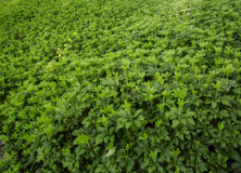 Pachysandra Domination Stock Image