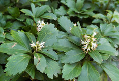 Pachysandra inflorescence close up Royalty Free Stock Image
