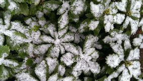 Pachysandra  under snow Stock Photo