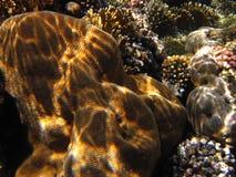 Pachyseris speciosa coral Stock Photos