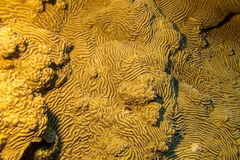 Pachyseris speciosa coral in tropical sea, underwater Stock Images