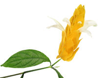 Pachystachys Lutea Royalty Free Stock Photo