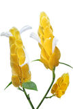 Pachystachys lutea Flower Stock Photography