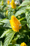 Golden Shrimp Plant Stock Photography