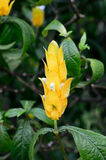 Pachystachys lutea - Yellow Shrimp flower. Closeup Royalty Free Stock Images